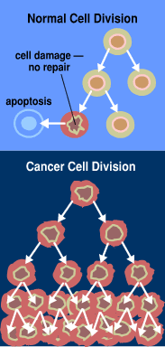 File:Normal cancer cell division from NIH.png