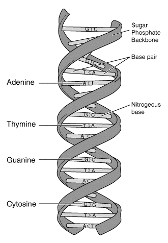 File:DNA-structure-and-bases.png