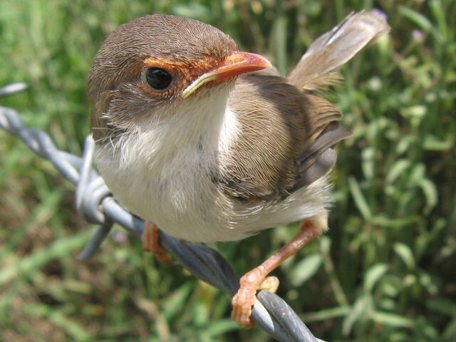 File:Superb fairy wren2 LiquidGhoul.jpg