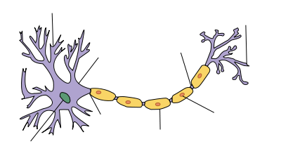File:Neuron-no labels.png