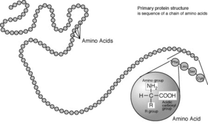 Protein-primary-structure