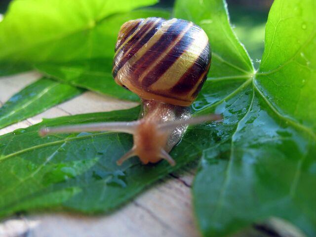 File:Snail WA.jpg