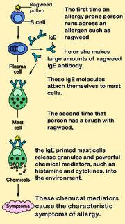 Mast cells