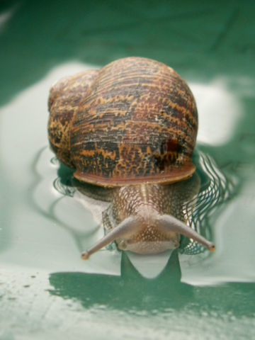 File:Snail in pool with reflection.png