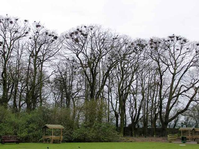 File:Crows.nests.arp.750pix.jpg