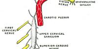 Superior cardiac nerve