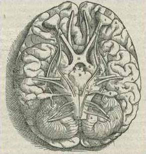 File:1543,AndreasVesalius'Fabrica,BaseOfTheBrain.jpg