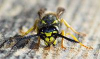File:Wasp gathering wood.jpg