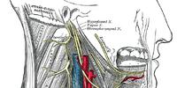 Cervical nerves