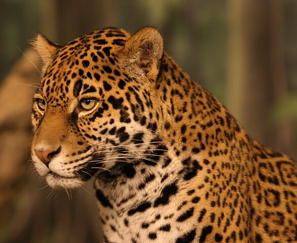 File:Jaguar head shot.jpg