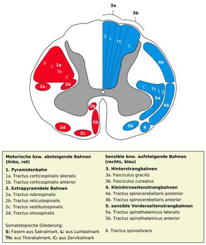 File:Medulla spinalis - Querschnitt - Nervenbahnen - German.png
