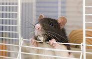 Cutest-Rats-24