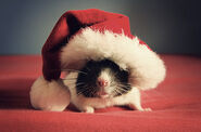 Cutest-Rats-29