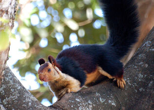 Indian giant squirrel 2