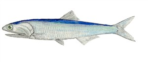 Anchovy-anchois
