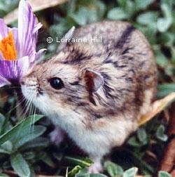 File:Campbells hamster.jpg