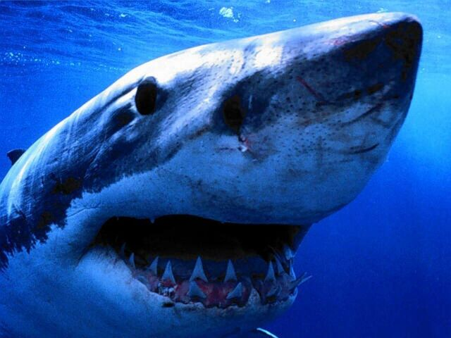 File:Amazing shark pictures.jpg