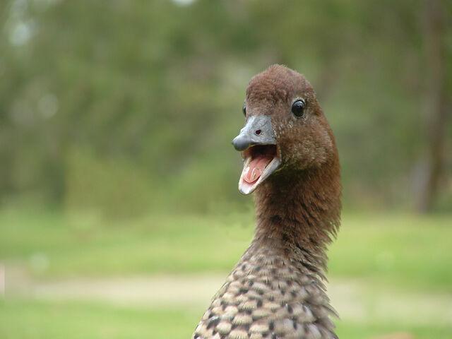 File:Tab duck 3.jpg