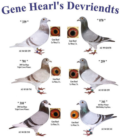 File:Pigeon means Oura.jpg
