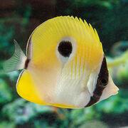 TearDropButterflyFish
