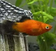 Mysouthernplatyfish