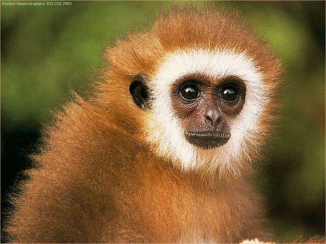 File:Pvwild12-monkey-facecloseup.jpg