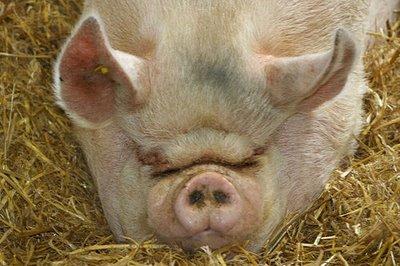 File:Ugly-pig.jpg