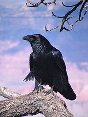 200px-Chihuahuan Raven Grand Canyon 1
