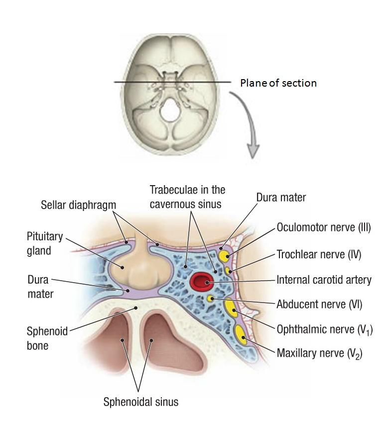Orbital anatomy definition 3489071 - togelmaya.info