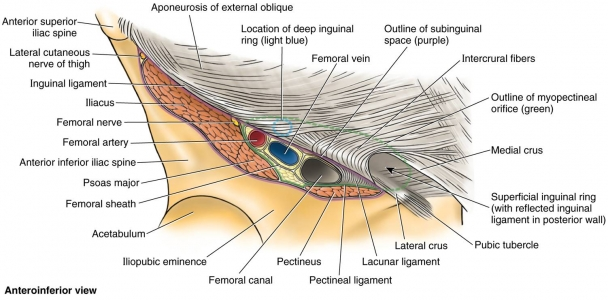 ligaments:hip:inguinal ligament | ranzcrpart1 wiki | fandom, Human body