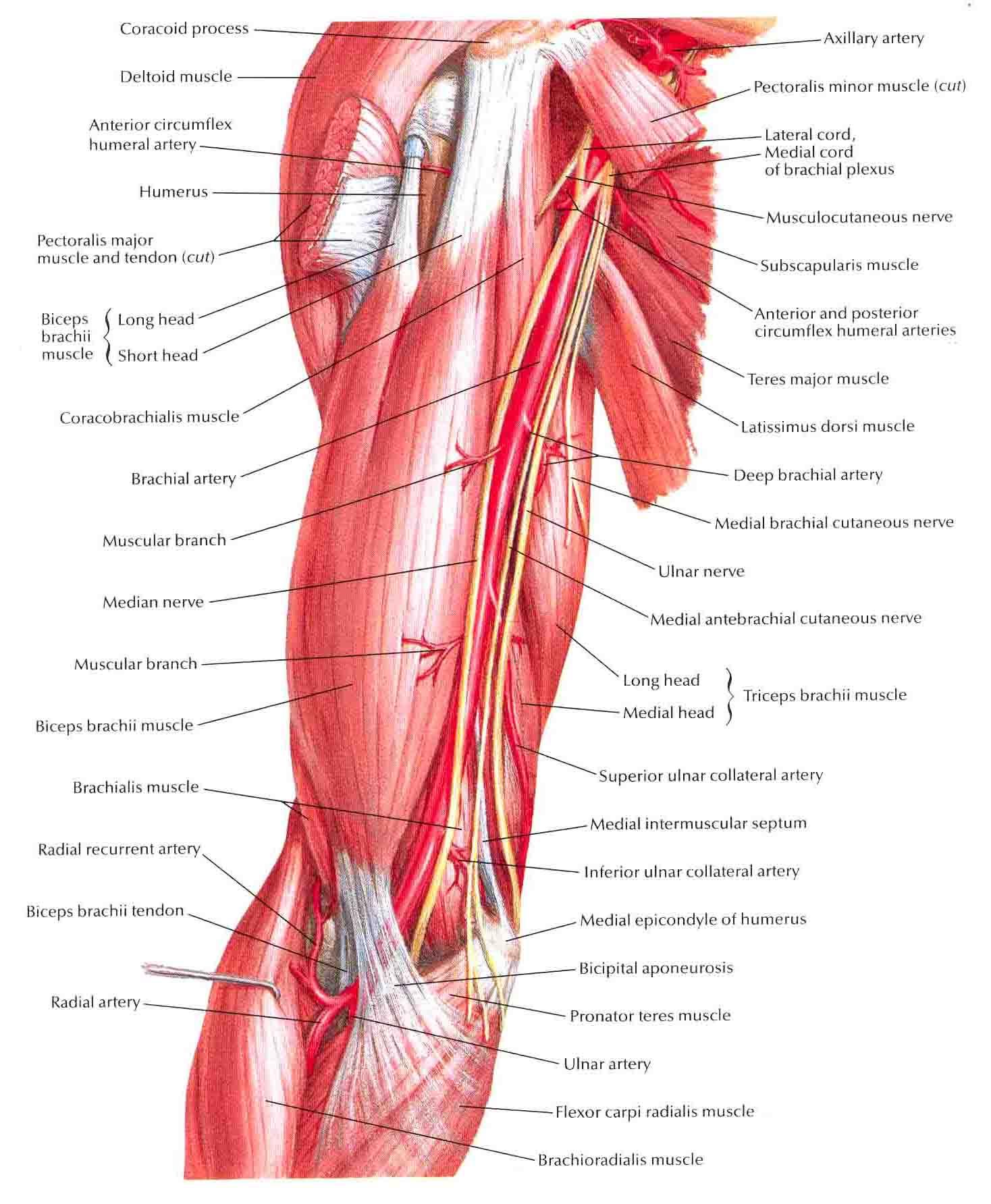 arterial structure:brachial:brachial | ranzcrpart1 wiki | fandom, Human Body