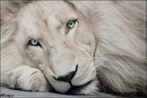 File:White Lion.jpg