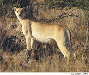 Cheetahguycombes-1335448269