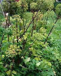 File:Angelica herb.jpg