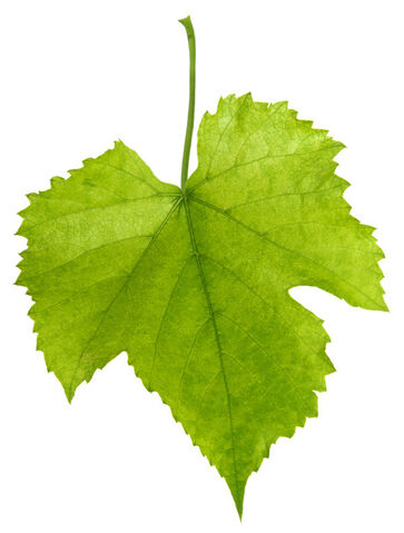 File:Grape leaf.jpg