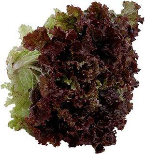 Redleaf lettuce