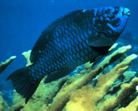 File:Parrotfish.jpg