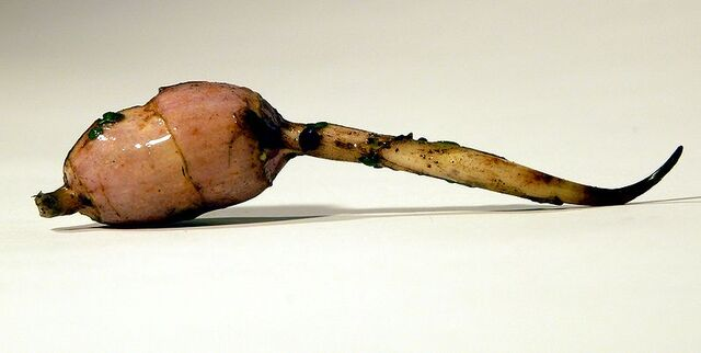 File:Arrowhead tuber.jpg