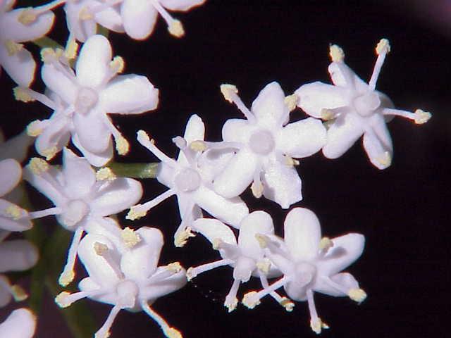 File:Elder flower.jpg