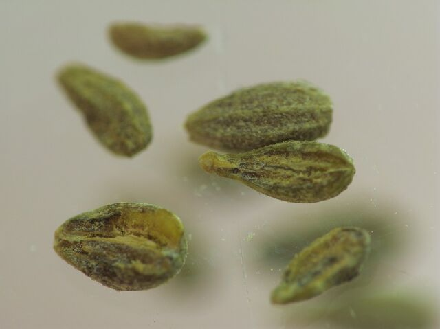 File:Anise seed.jpg