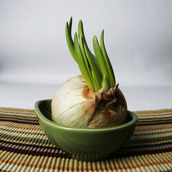 600px-Garlic growing