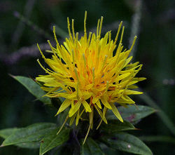 File:Safflower.jpg