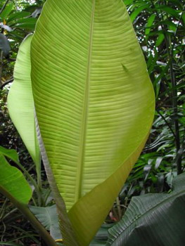 File:BananaLeaves.jpg