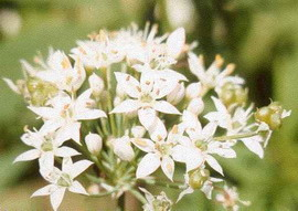 File:GarlicChives.jpg