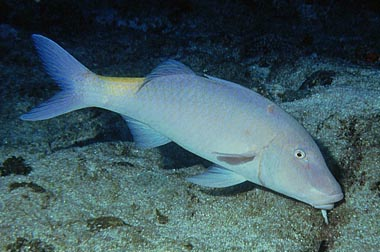 File:Goatfish.jpg