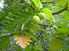 File:Breadfruit.jpg