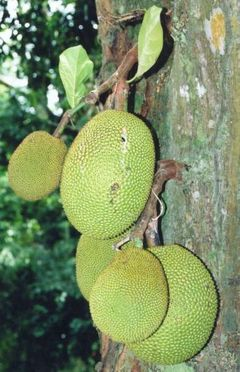 File:Jackfruit.jpg