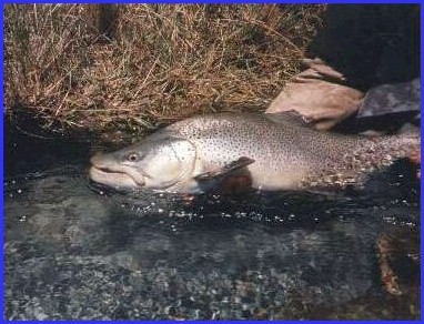 File:Trout.jpg