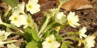 English primroses