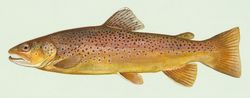 File:Seatrout.jpg